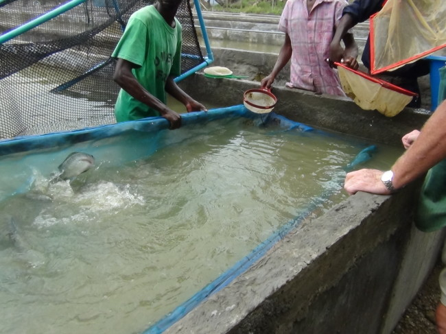 Omega Farms Fishing for tilapia fry