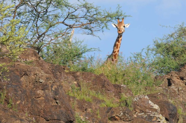 excursions giraffe island Ruko Conservancy