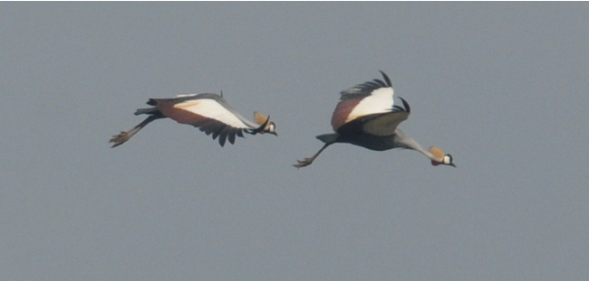 cranesflying v2
