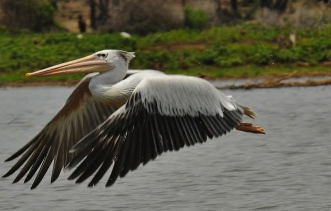 pelicanflying 2