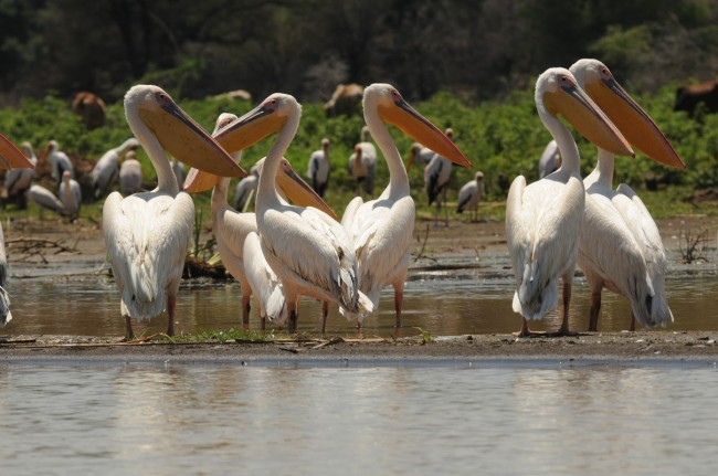pelicansgreatwhite